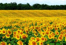 Влияние гербицидов на продуктивность подсолнечника