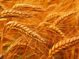 озимая-пшеница
