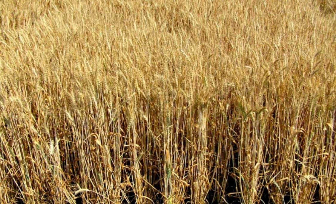 успешная селекция кормовых культур
