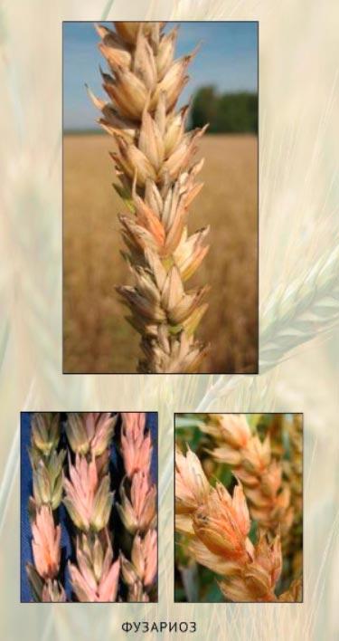 фузариоз пшеницы