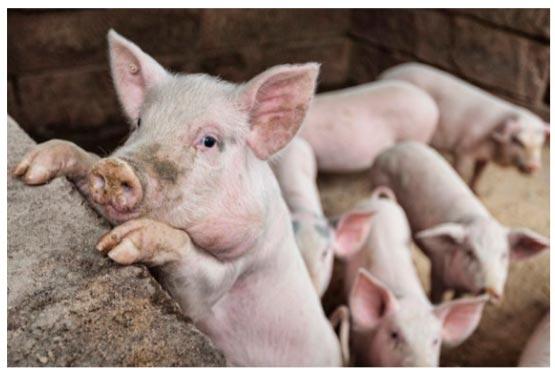 кака получить качественную свинину
