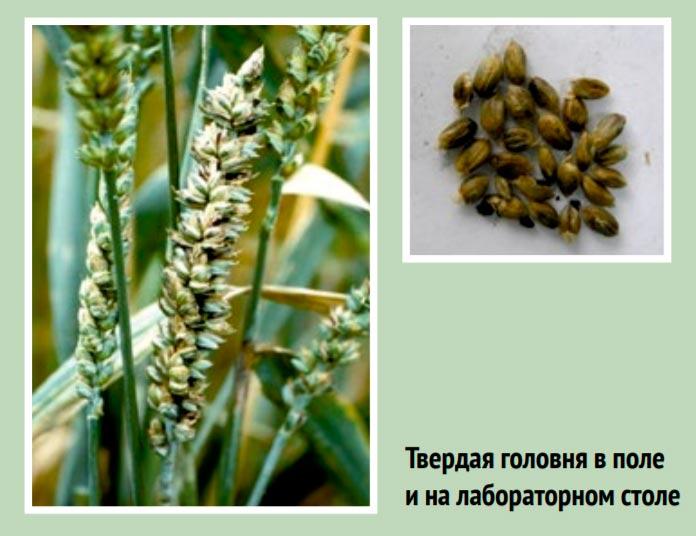 порожение пшеницы твердой головней