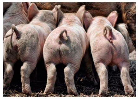 Степень осаленности туши свиньи