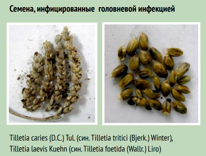 Семена пшеницы инфицированные головневой инфекцией