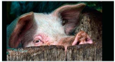 получение качественной свинины