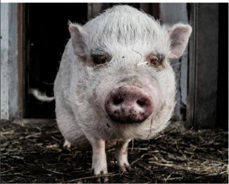 профилактика стрессов у свиньи