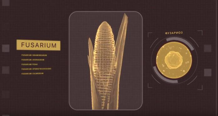 Заболевание пшеницы фузариоз