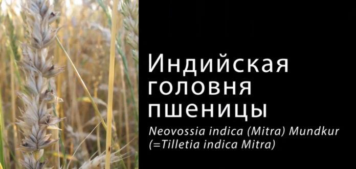 Заболевание пшеницы индийская головня