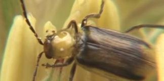 западный кукурузный корневой червь