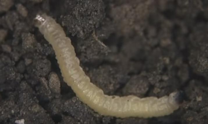 развитие западного кукурузного корневого червя
