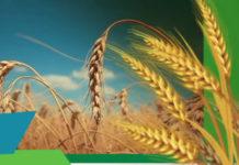Защита озимой пшеницы
