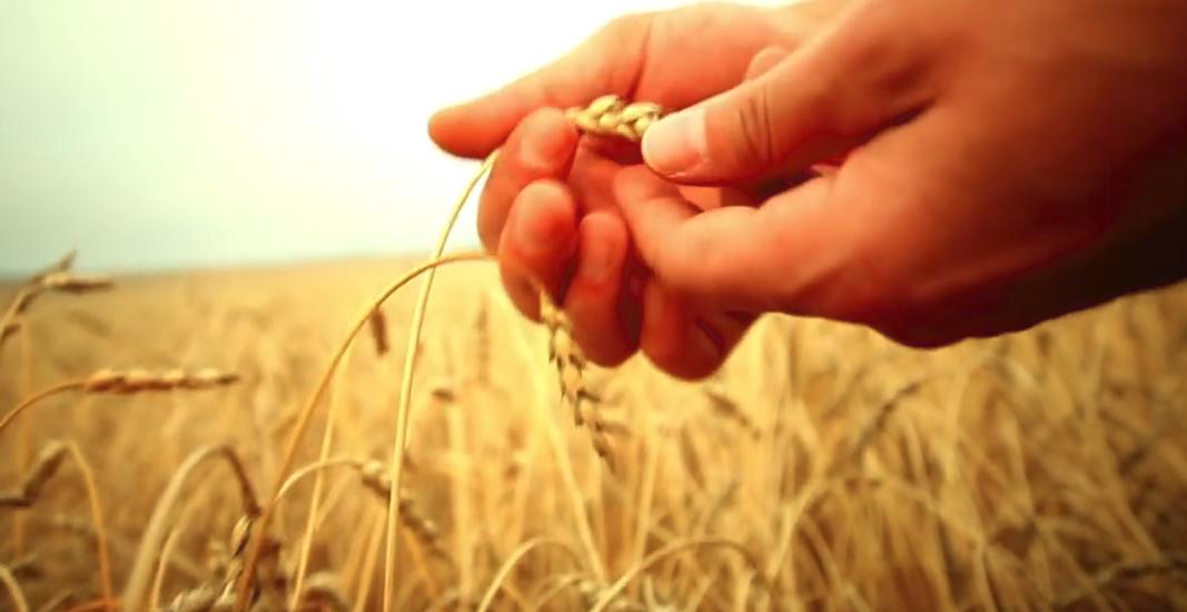Защита озимой пшеницы2