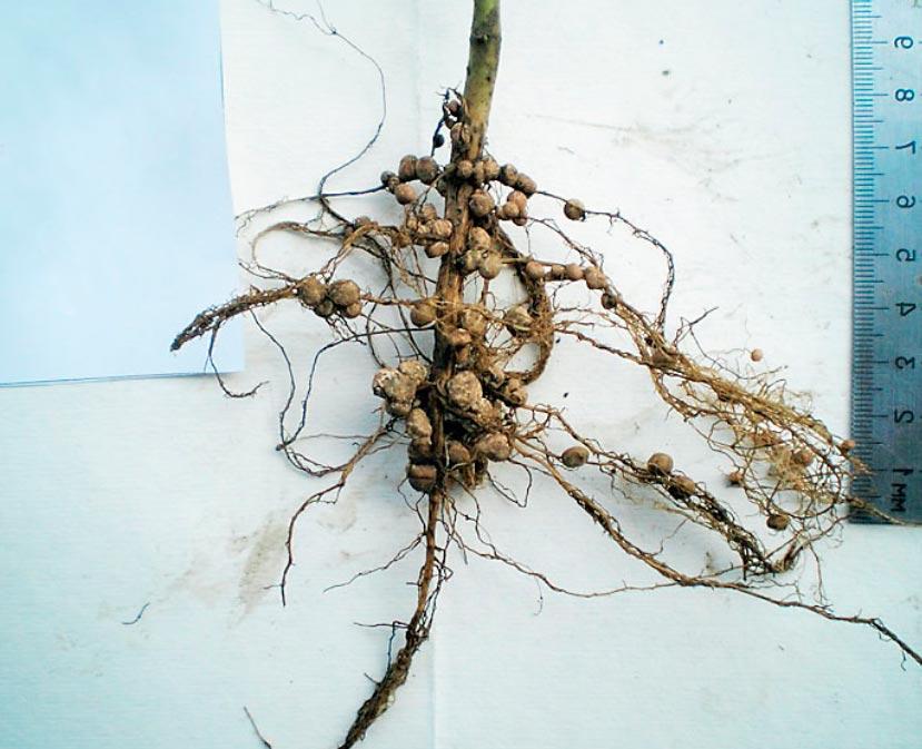 формирование корневой системы сои