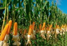выращивание кукурузы