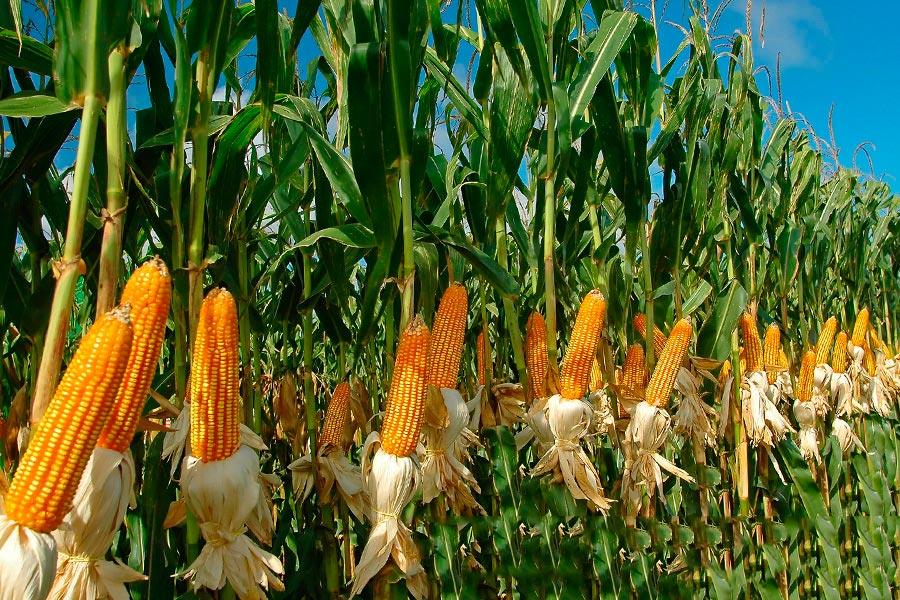 Кукуруза выращивание и уход в открытом 85