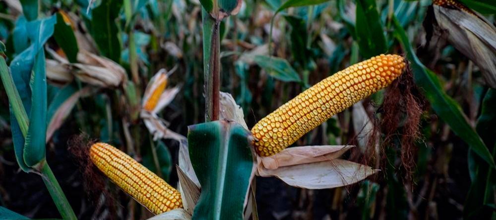 обработка почвы под кукурузу