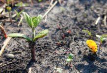 основные стадии вегетации сои
