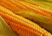 способы использования кукурузы