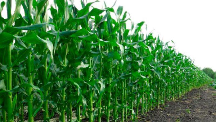 требования кукурузы к почве