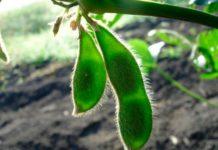 Вегетационный период роста сои