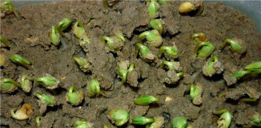 всхожесть семян сои