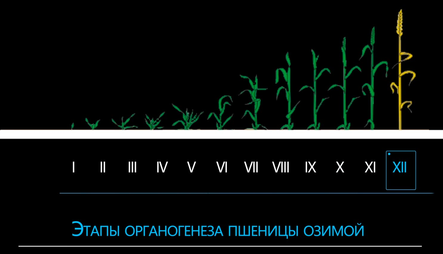 этапы органогенеза озимой пшеницы
