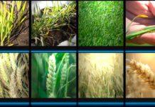 основные элементы выращивания урожая озимой пшеницы
