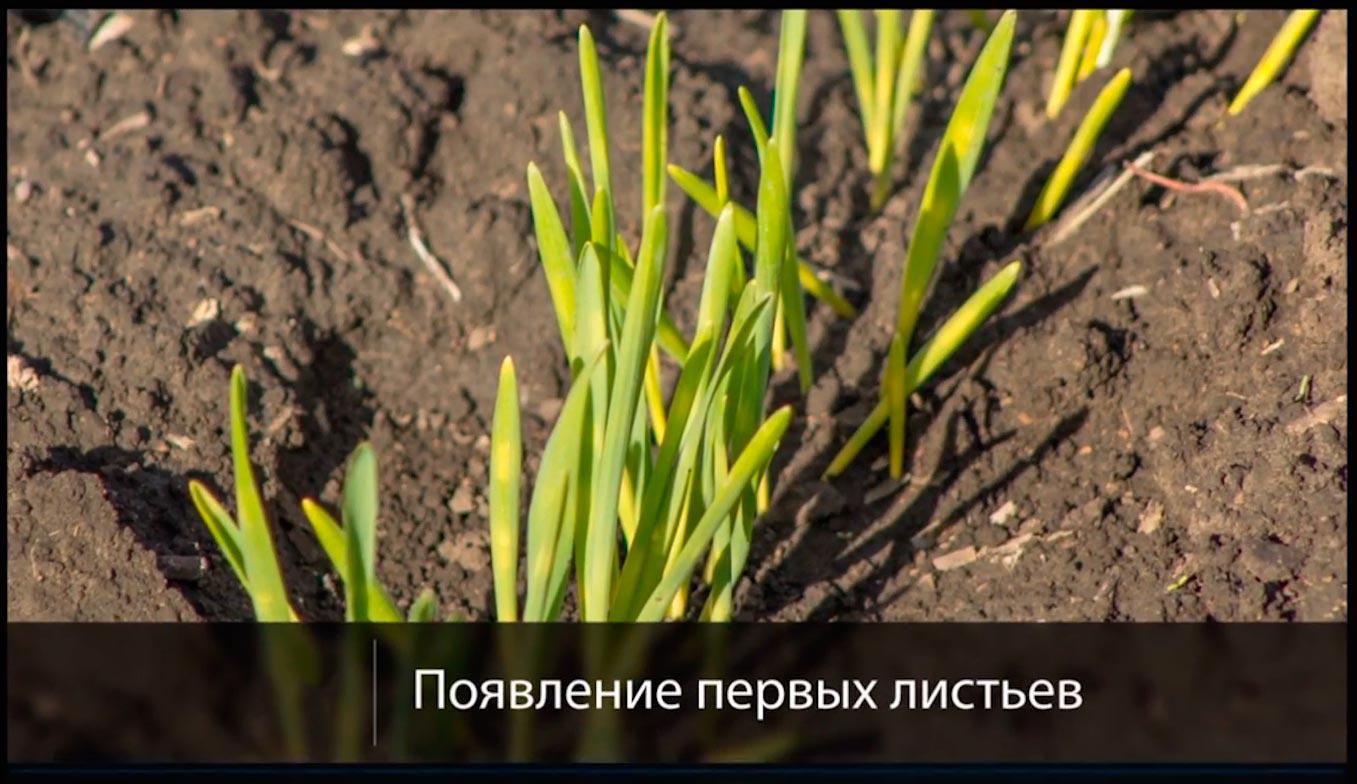 первый этап органогенеза пшеницы