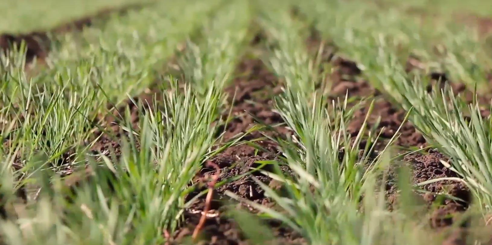 второй этап органогенеза пшеницы