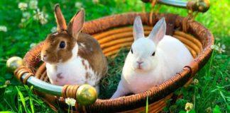 декоративные кролики породы карликовый рекс