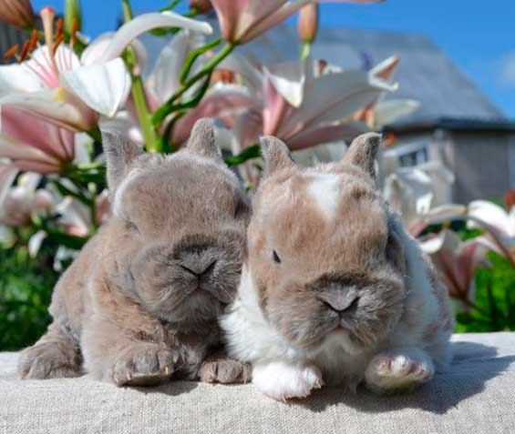 крольчата карликового рекса