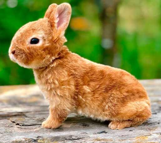 История происхождения кроликов породы Карликовый Рекс