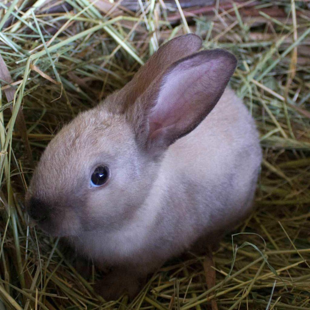 кролик карликовый рекс в сене