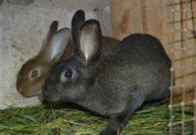 кролики породы рекс в клетке
