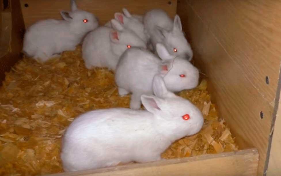 белые кролики в клетке