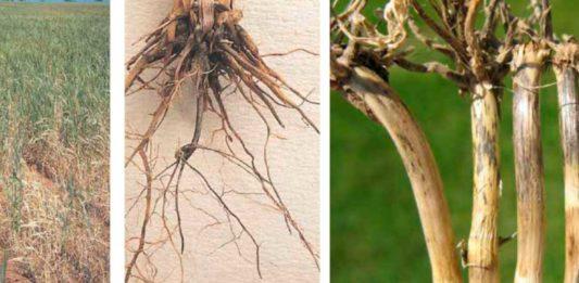 болезни пшеницы корневая гниль