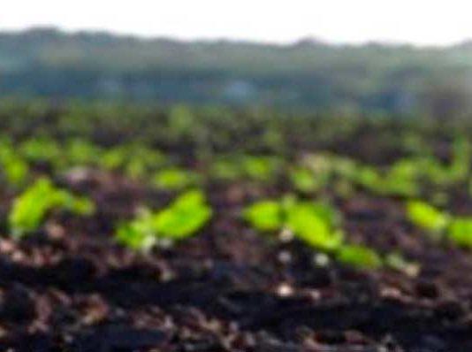 выращивание подсолнуха в Украине