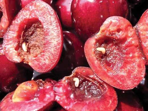 личинки вишневой мухи