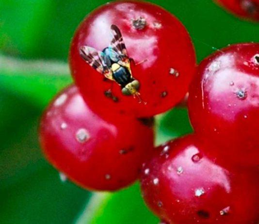 вишневая муха